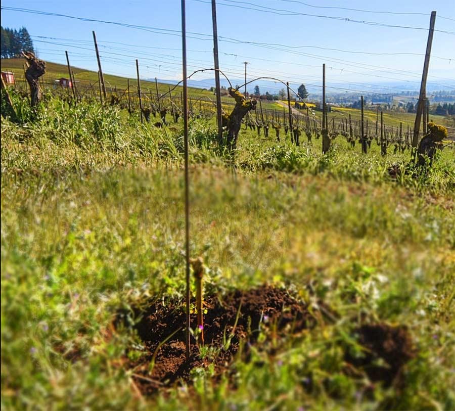 Maresh-planting-baby-vine2-oldvines-900p