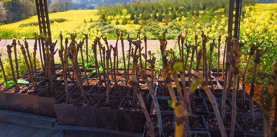 Maresh-planting-baby-vines-900p