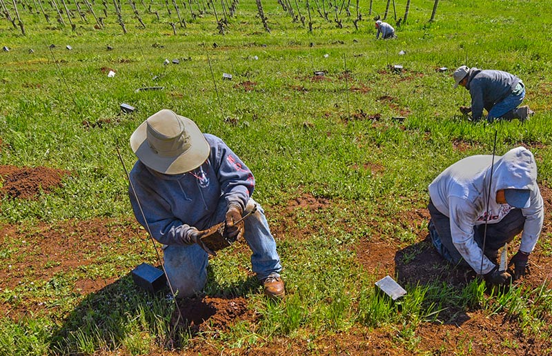 Maresh-planting-last-vines-800p
