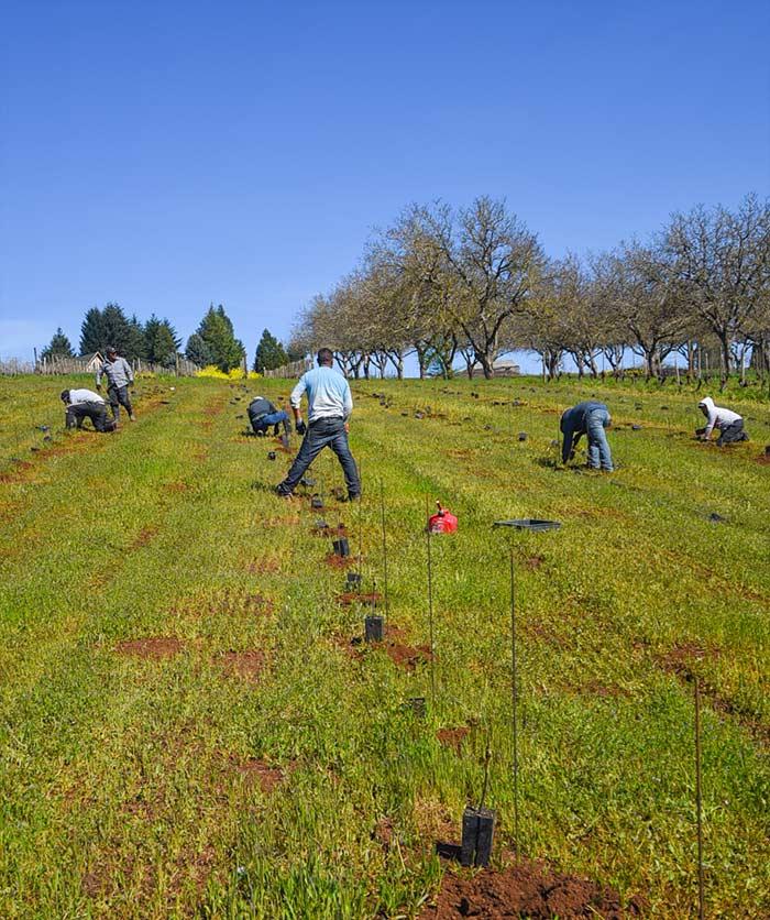 Maresh-planting-rows-hazeltrees-700p