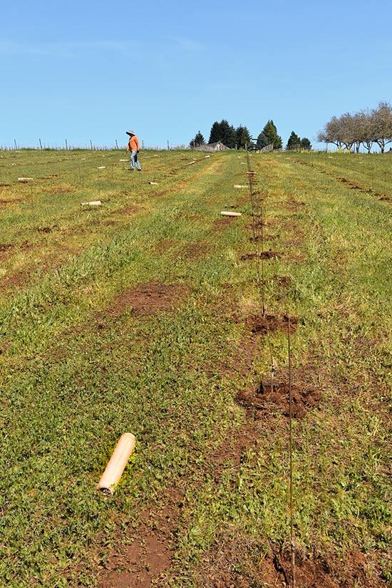 Maresh-planting589-tubes-rows-550p